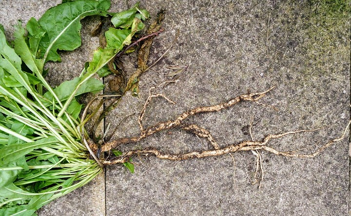 Woad tap root